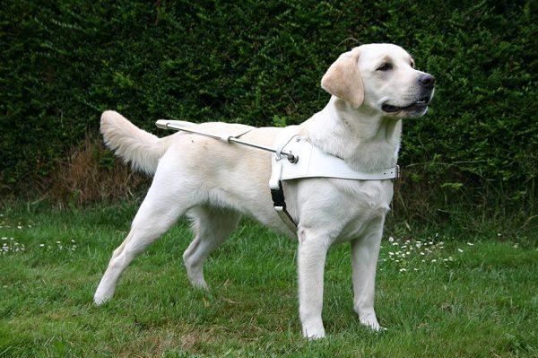 Blindengeleidehond