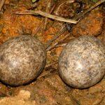 Ei van een Texasnachtzwaluw