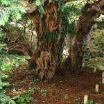 Oudste boom van Europa verandert van geslacht